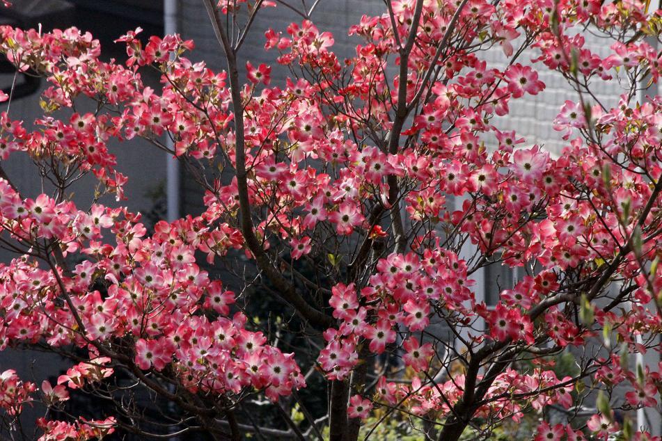 お隣のハナミズキ       ~シャラの芽も吹いてきて~_a0107574_759153.jpg