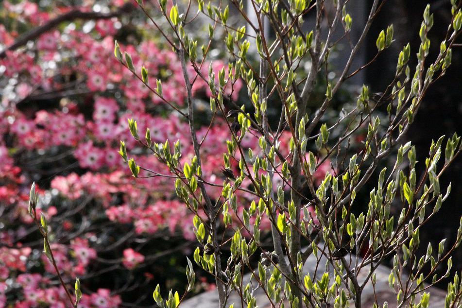 お隣のハナミズキ       ~シャラの芽も吹いてきて~_a0107574_7592324.jpg
