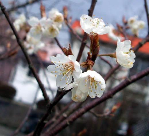 さくらんぼの花が、咲く_f0019498_16272661.jpg