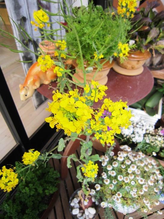 菜の花とトシとチビ_c0125702_22155692.jpg