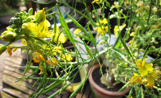 菜の花とトシとチビ_c0125702_22171447.jpg
