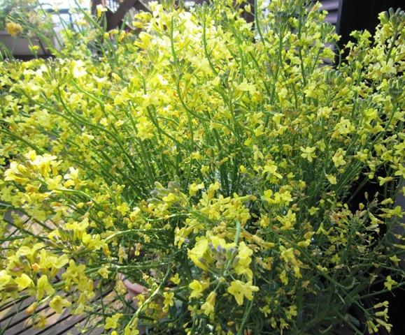 菜の花とトシとチビ_c0125702_2265061.jpg
