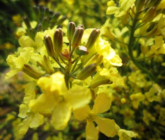 菜の花とトシとチビ_c0125702_2274996.jpg