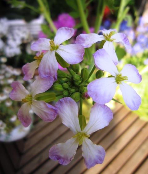 菜の花とトシとチビ_c0125702_2291018.jpg