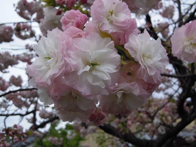 八重桜♪_a0165538_10101586.jpg