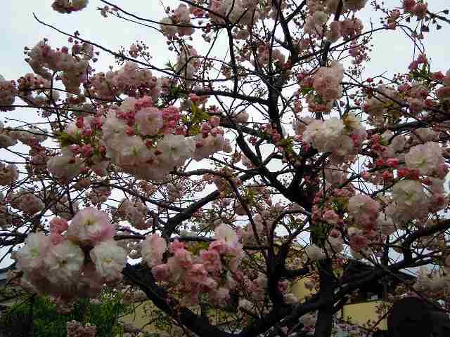 八重桜♪_a0165538_1064162.jpg