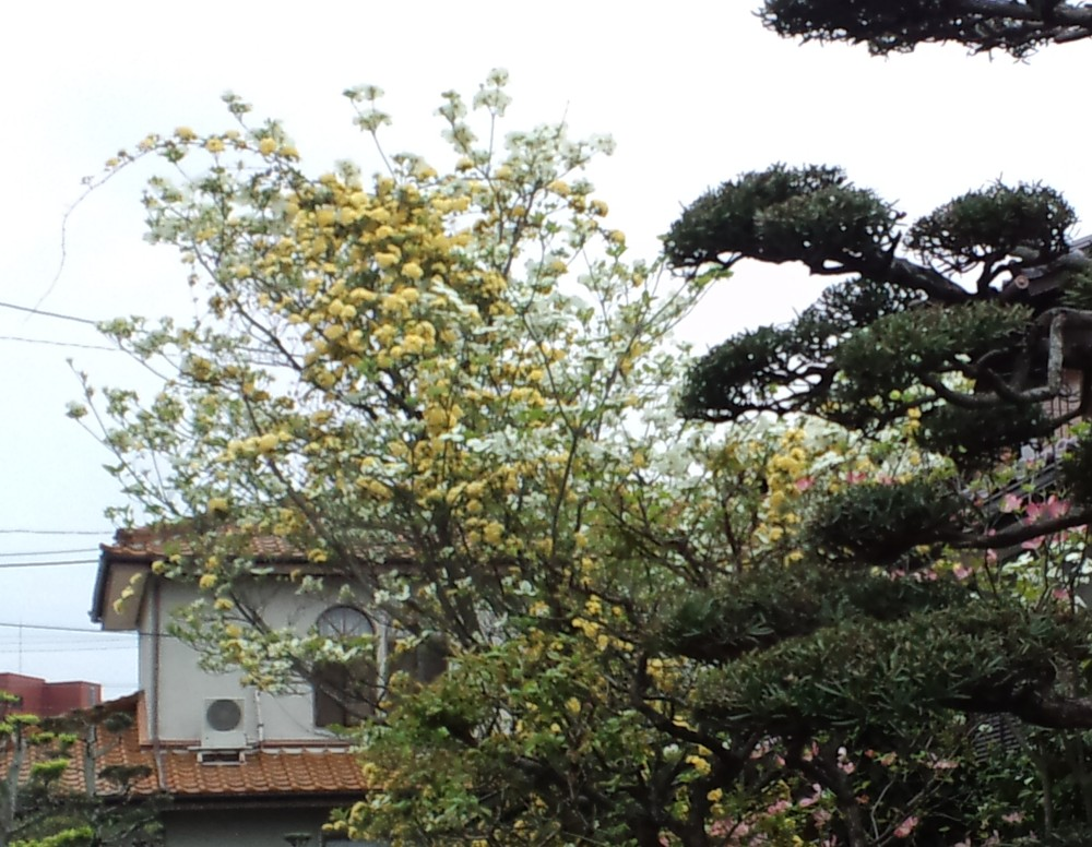 ★白いハナミズキと黄色いバラのコラボ…美しい_d0082356_816352.jpg