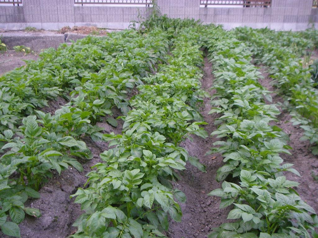 無肥料  2回目_e0181260_175464.jpg