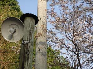 うちの山桜満開 (3.16 開花)_f0000163_13511056.jpg
