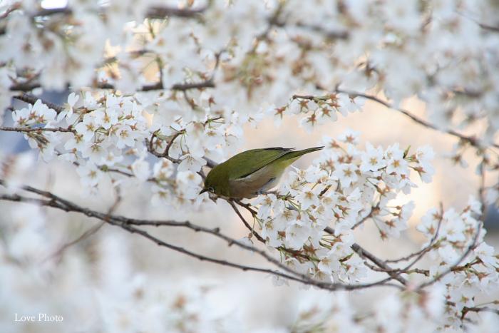薬師寺 薄墨桜と鳥_a0116472_0403727.jpg