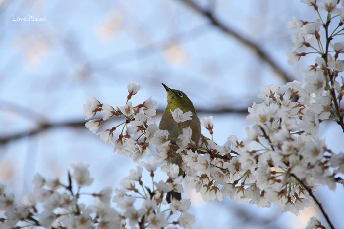 薬師寺 薄墨桜と鳥_a0116472_0412296.jpg
