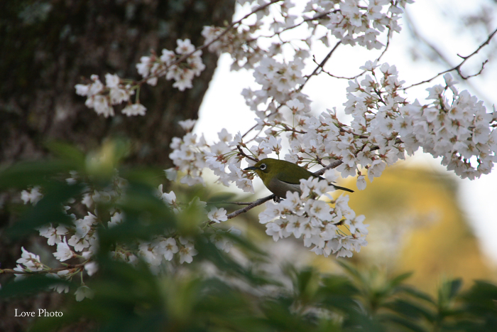薬師寺 薄墨桜と鳥_a0116472_04222100.jpg