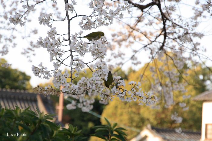 薬師寺 薄墨桜と鳥_a0116472_0431050.jpg