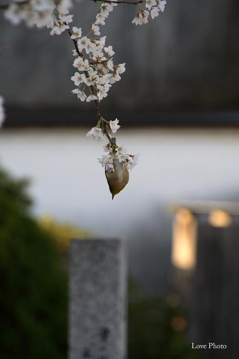 薬師寺 薄墨桜と鳥_a0116472_0435146.jpg
