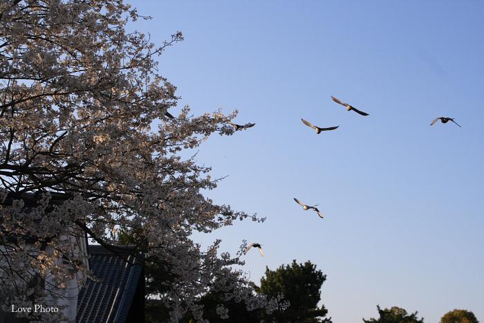 薬師寺 薄墨桜と鳥_a0116472_0443668.jpg
