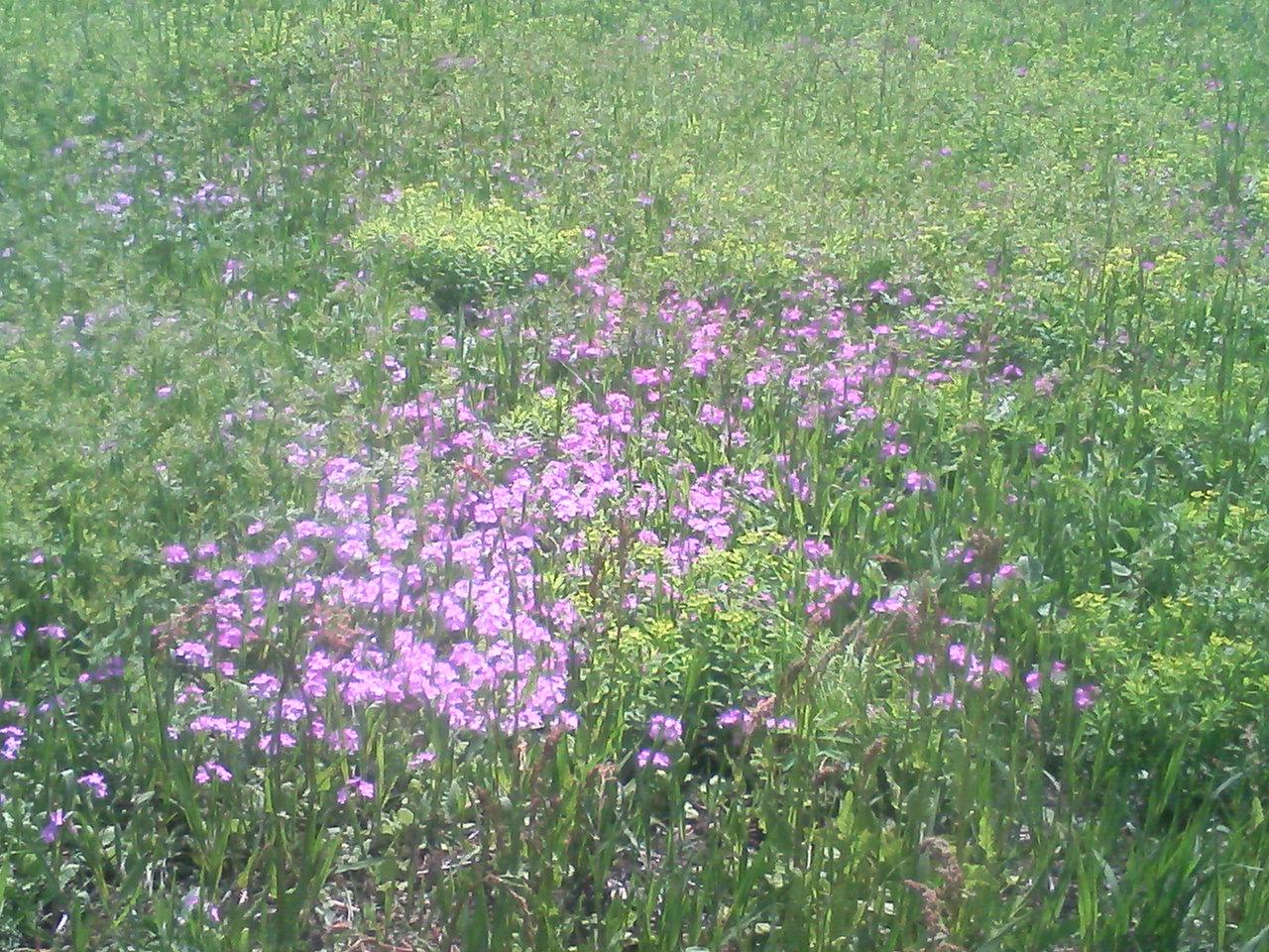 さくら草まつり_f0214534_17382112.jpg