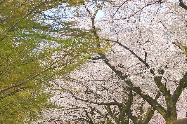 桜とカツラの新緑・・・鶴来樹木公園(2)_d0043136_202386.jpg
