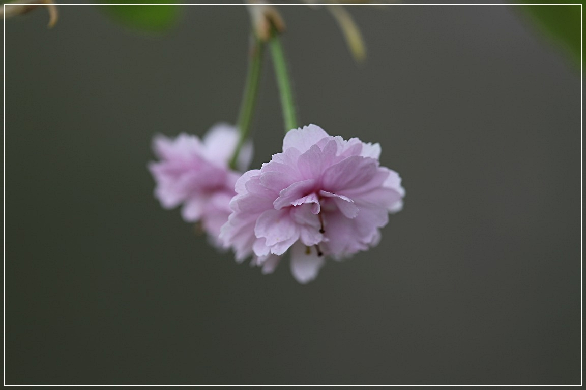 sakura_c0188951_1910449.jpg