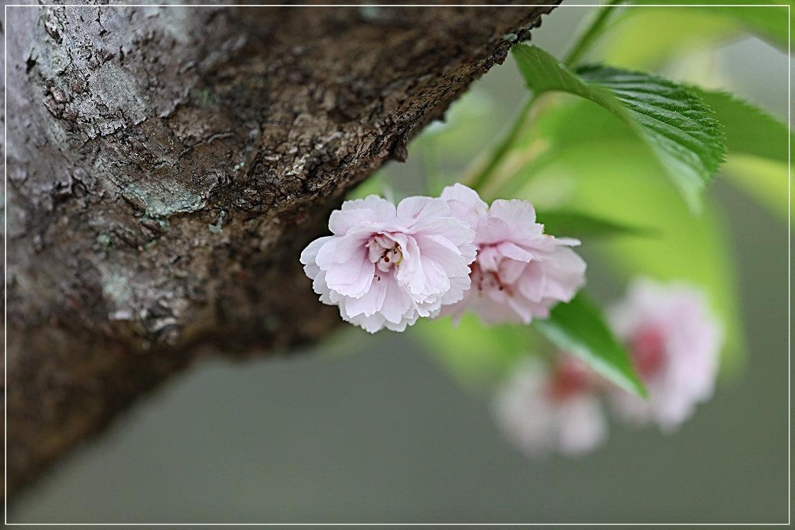 sakura_c0188951_1994166.jpg