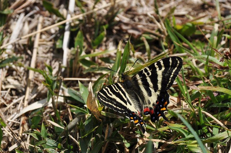 2010想い出の蝶ランキング1位ギフチョウ_e0194952_1020866.jpg