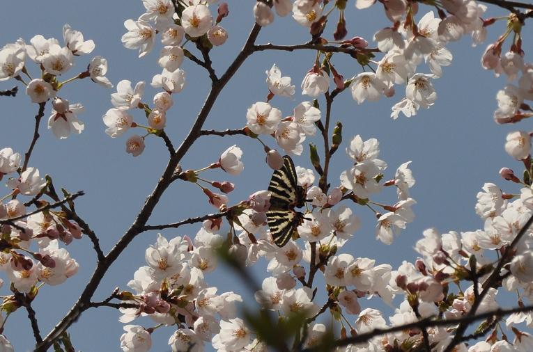 2010想い出の蝶ランキング1位ギフチョウ_e0194952_10573483.jpg