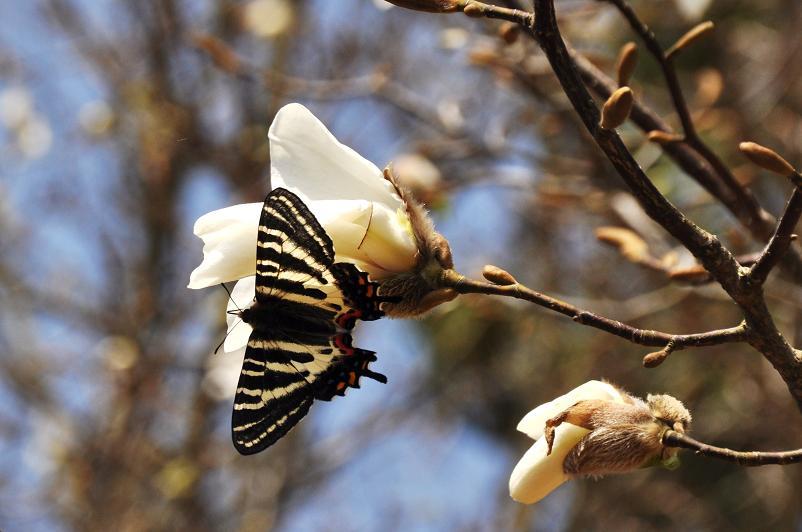2010想い出の蝶ランキング1位ギフチョウ_e0194952_8585972.jpg