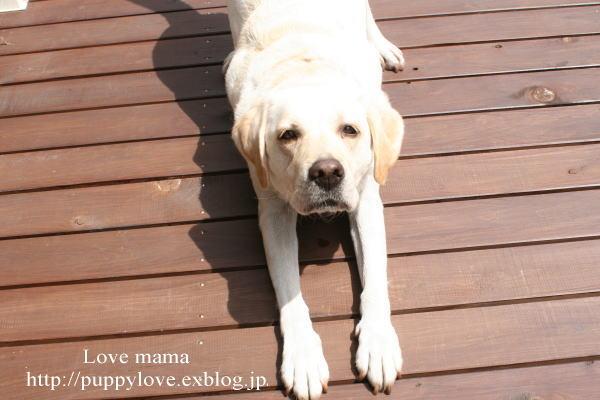 盲導犬職務が終わると息を引き取る。_b0136683_16221615.jpg