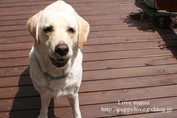盲導犬職務が終わると息を引き取る。_b0136683_16232451.jpg