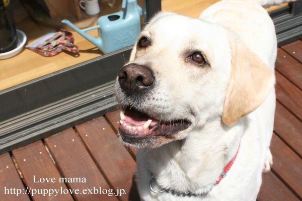 盲導犬職務が終わると息を引き取る。_b0136683_16242345.jpg