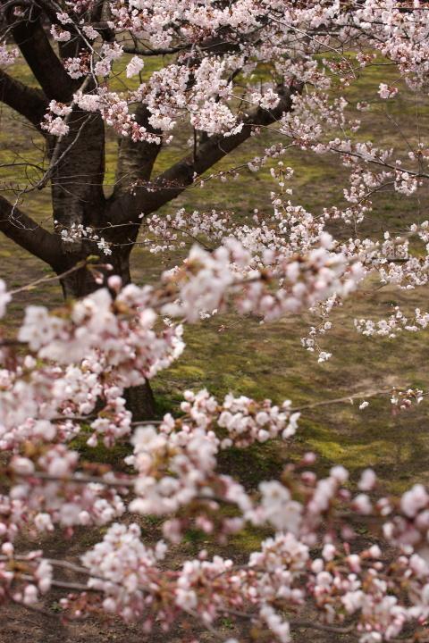 加治川の桜_e0169421_22194528.jpg
