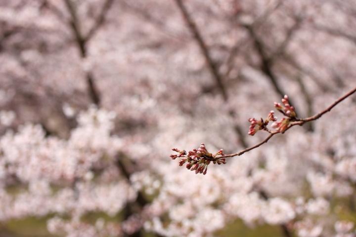 加治川の桜_e0169421_2220552.jpg