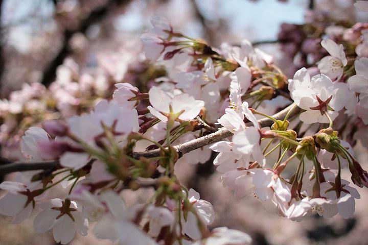 桜、一気に開花!_e0084756_12282880.jpg