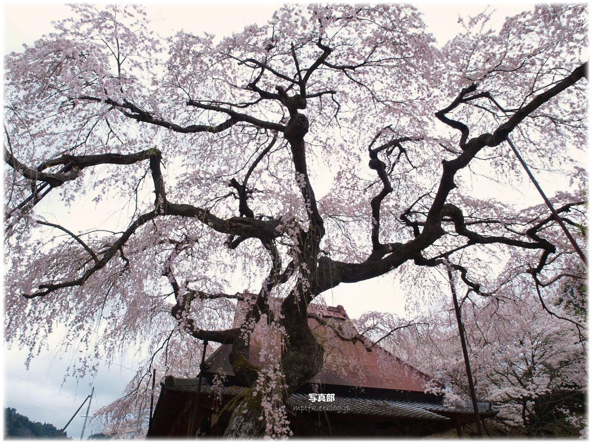 奈良 西光寺 桜_f0021869_1356508.jpg