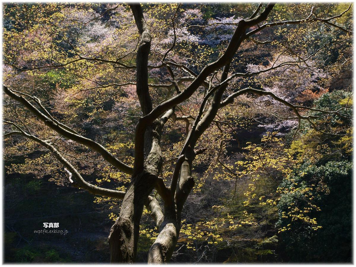 京都 嵐山 桜_f0021869_23474087.jpg
