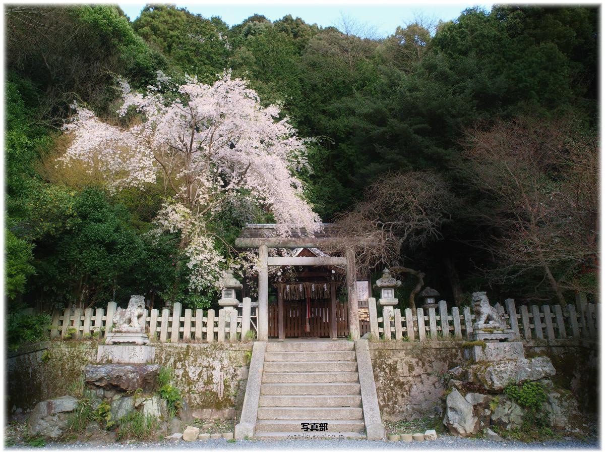 神社 桜_f0021869_7135620.jpg