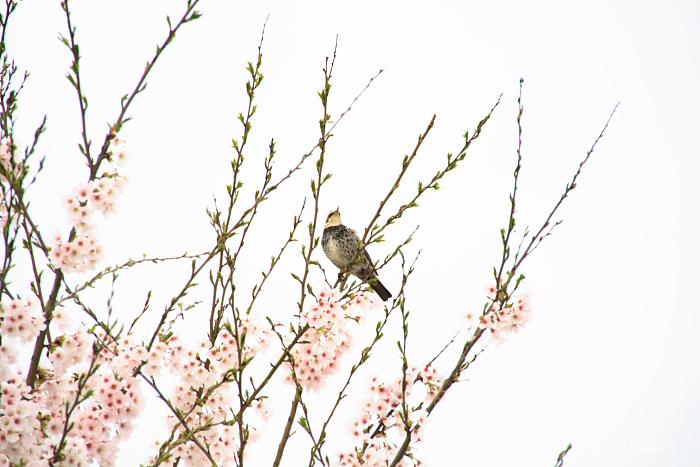 桜を求めて琵琶湖一周ドライブ ①_a0116472_0420100.jpg