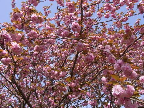 さくら、サクラ、桜........_d0127182_17511755.jpg
