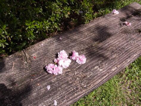 さくら、サクラ、桜........_d0127182_17573819.jpg