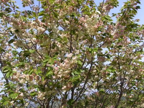さくら、サクラ、桜........_d0127182_1758449.jpg