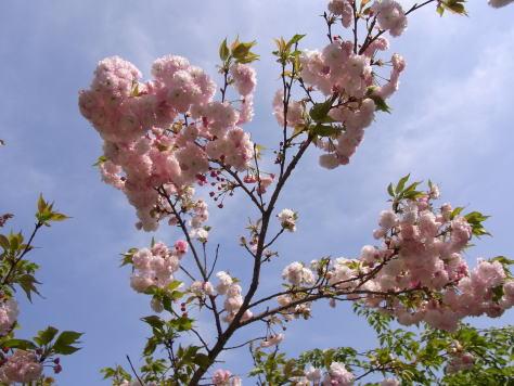 さくら、サクラ、桜........_d0127182_17595482.jpg