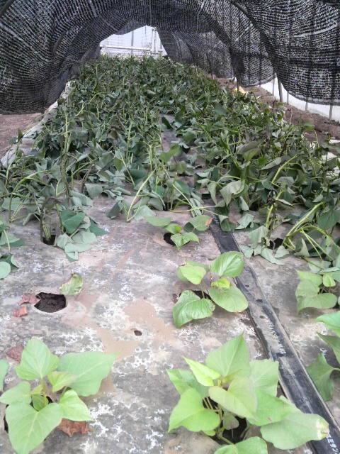 畑に植えられるまで仮植え_d0152192_22275492.jpg