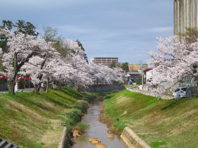 青田川の桜_b0163804_8375536.jpg