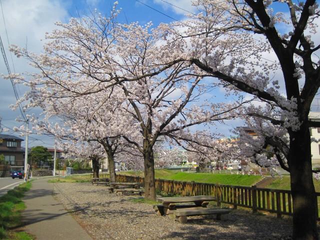 青田川の桜_b0163804_838589.jpg