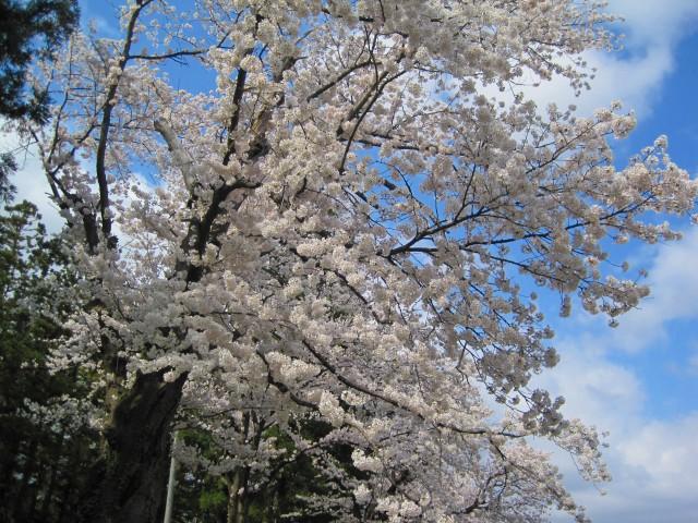 青田川の桜_b0163804_8392149.jpg