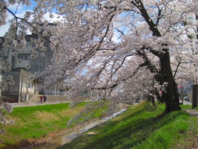 青田川の桜_b0163804_8394831.jpg