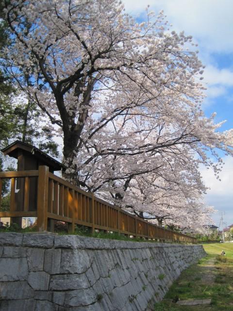 青田川の桜_b0163804_8401822.jpg