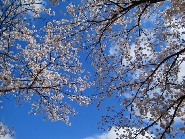 青田川の桜_b0163804_840270.jpg