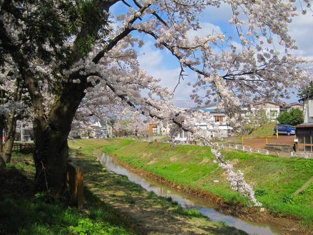 青田川の桜_b0163804_8402953.jpg