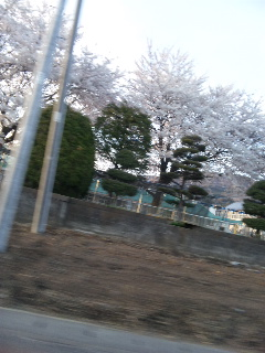 桜が……_d0148408_2031124.jpg