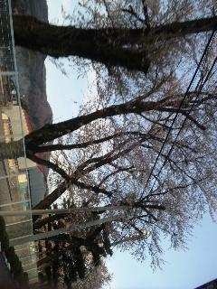 桜が……_d0148408_20311258.jpg